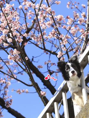 覗き総悟くんと桜